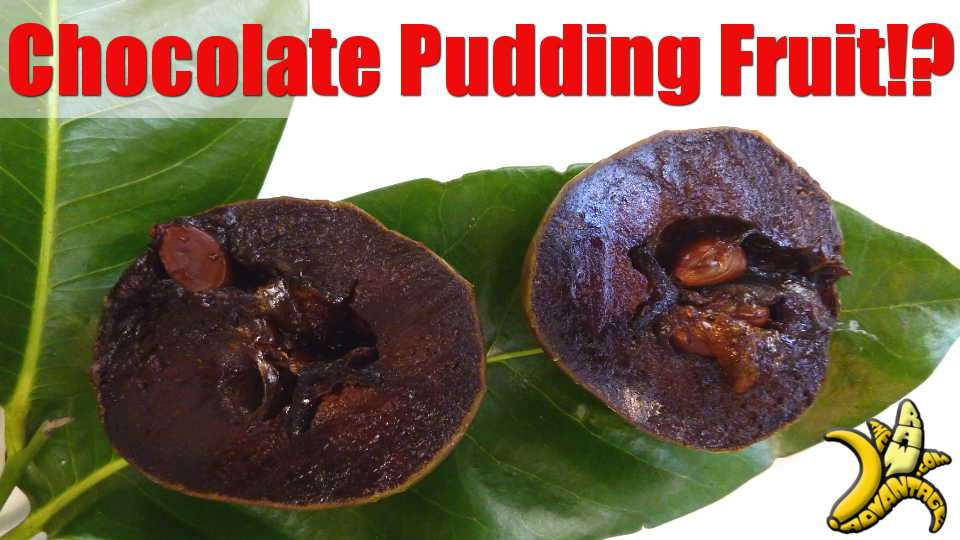 Chocolate Pudding Fruit?! The Amazing Black Sapote!