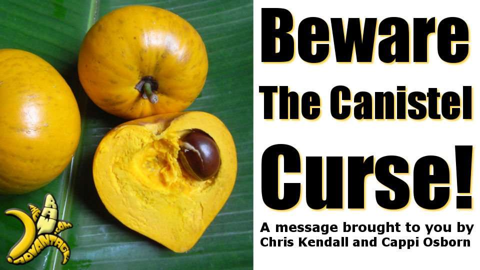 Beware the Canistel Curse, a sweet fruit seduction!