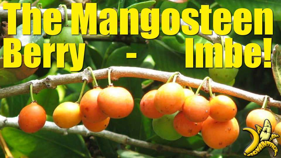 Exotic Fruit | The Mangosteen Berry / Imbe Fruit
