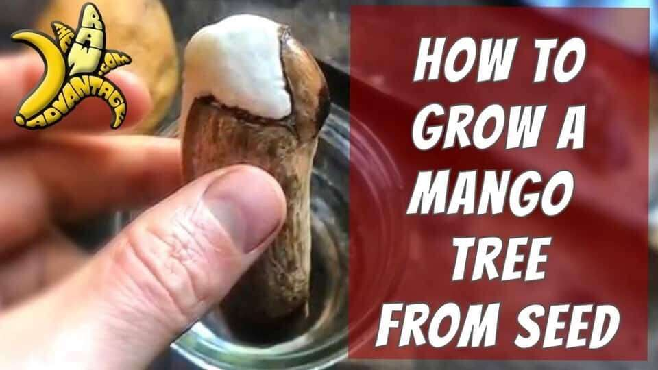 How to Grow a Mango Tree from Seed Indoors