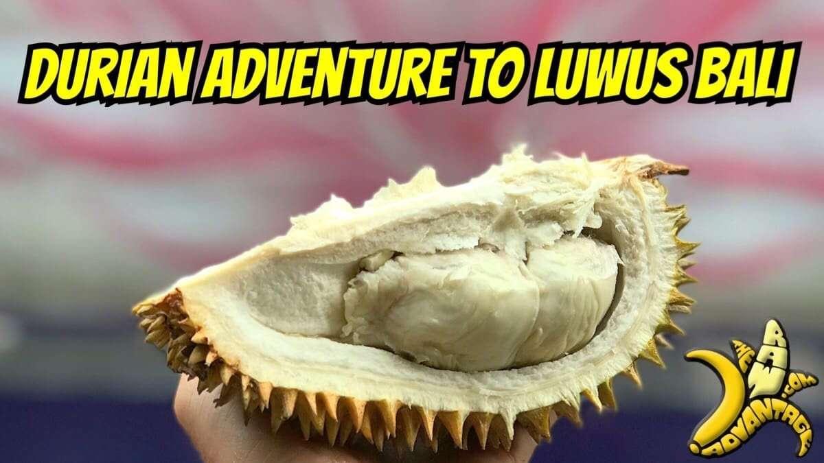 Durian Adventure to Luwus Bali