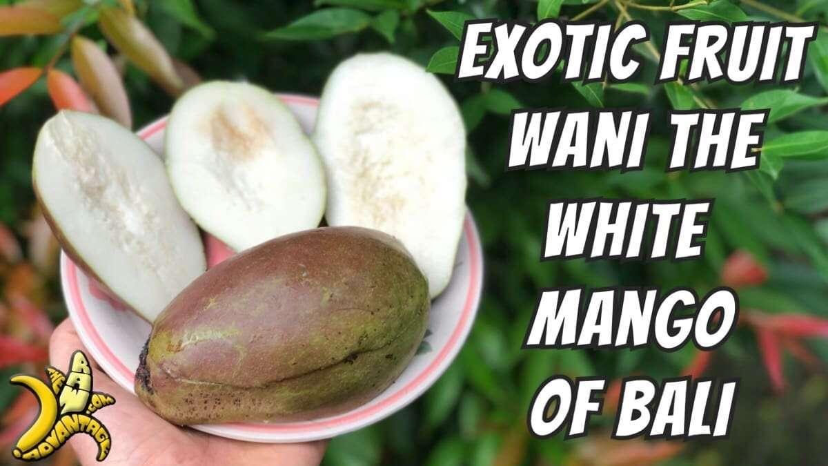 Exotic Fruits | Wani the White Mango of Bali